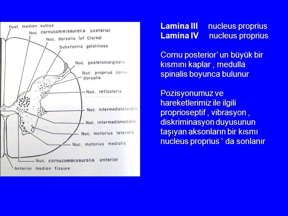 Lamina III nucleus proprius Lamina IV nucleus proprius Cornu posterior' un büyük bir kısmını kaplar, medulla spinalis boyunca bulunur Pozisyonumuz ve hareketlerimiz ile ilgili proprioseptif, vibrasyon, diskriminasyon duyusunun taşıyan aksonların bir kısmı nucleus proprius ' da sonlanır