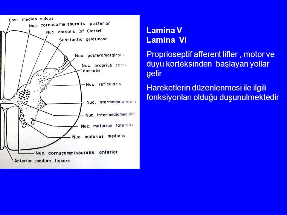 Lamina V Lamina VI Proprioseptif afferent lifler, motor ve duyu korteksinden başlayan yollar gelir Hareketlerin düzenlenmesi ile ilgili fonksiyonları olduğu düşünülmektedir