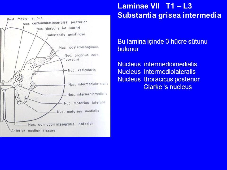 Laminae VII T1 – L3 Substantia grisea intermedia Bu lamina içinde 3 hücre sütunu bulunur Nucleus intermediomedialis Nucleus intermediolateralis Nucleus thoracicus posterior Clarke 's nucleus