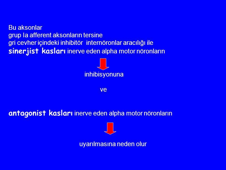 Bu aksonlar grup Ia afferent aksonların tersine gri cevher içindeki inhibitör internöronlar aracılığı ile sinerjist kasları inerve eden alpha motor nö
