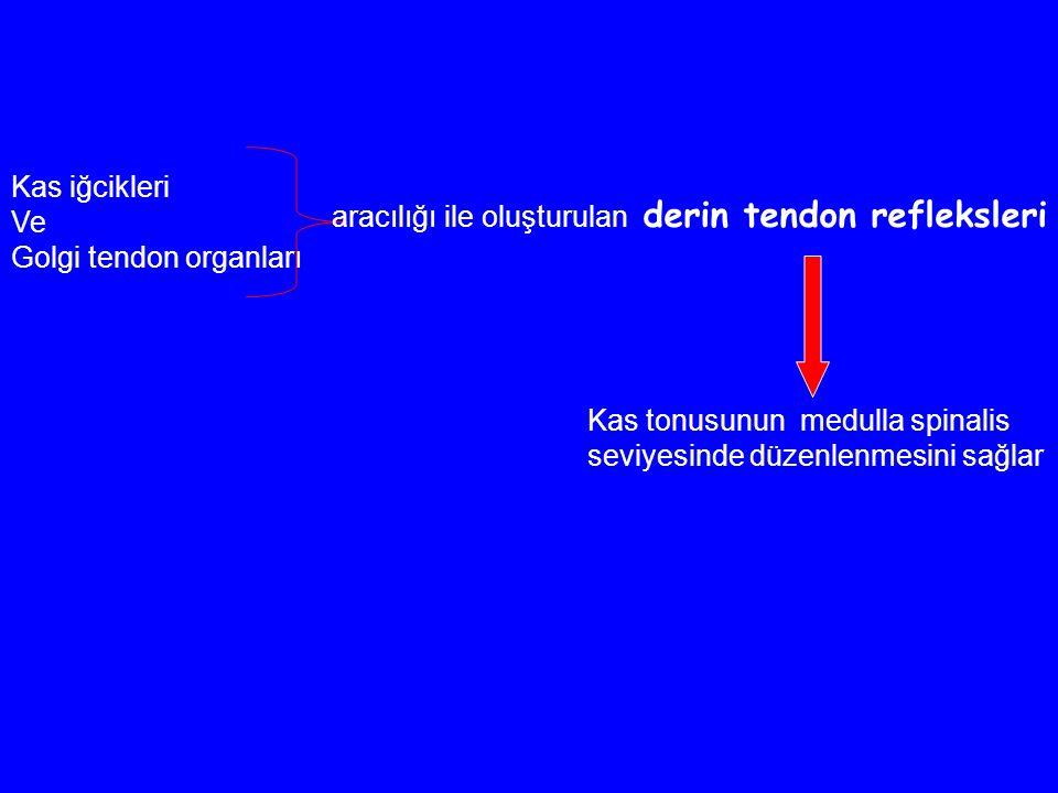 Kas iğcikleri Ve Golgi tendon organları aracılığı ile oluşturulan derin tendon refleksleri Kas tonusunun medulla spinalis seviyesinde düzenlenmesini sağlar