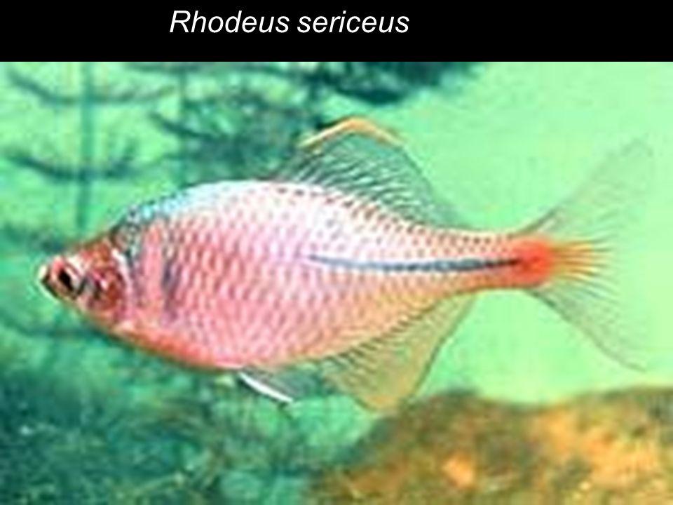 Rhodeus sericeus
