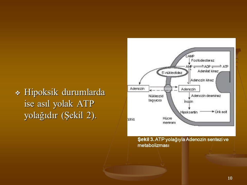10  Hipoksik durumlarda ise asıl yolak ATP yolağıdır (Şekil 2). Şekil 3. ATP yolağıyla Adenozin sentezi ve metabolizması