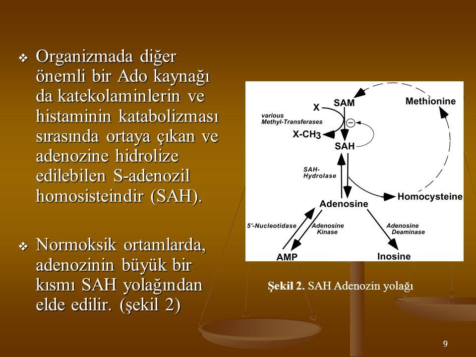9  Organizmada diğer önemli bir Ado kaynağı da katekolaminlerin ve histaminin katabolizması sırasında ortaya çıkan ve adenozine hidrolize edilebilen