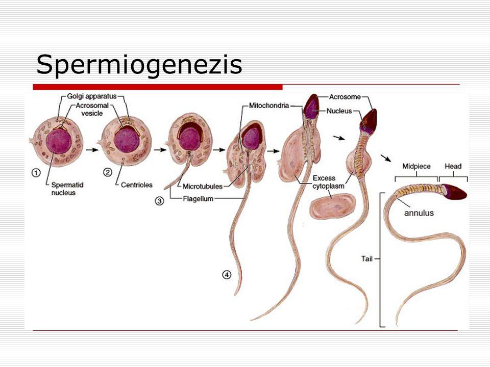 Spermiogenezis