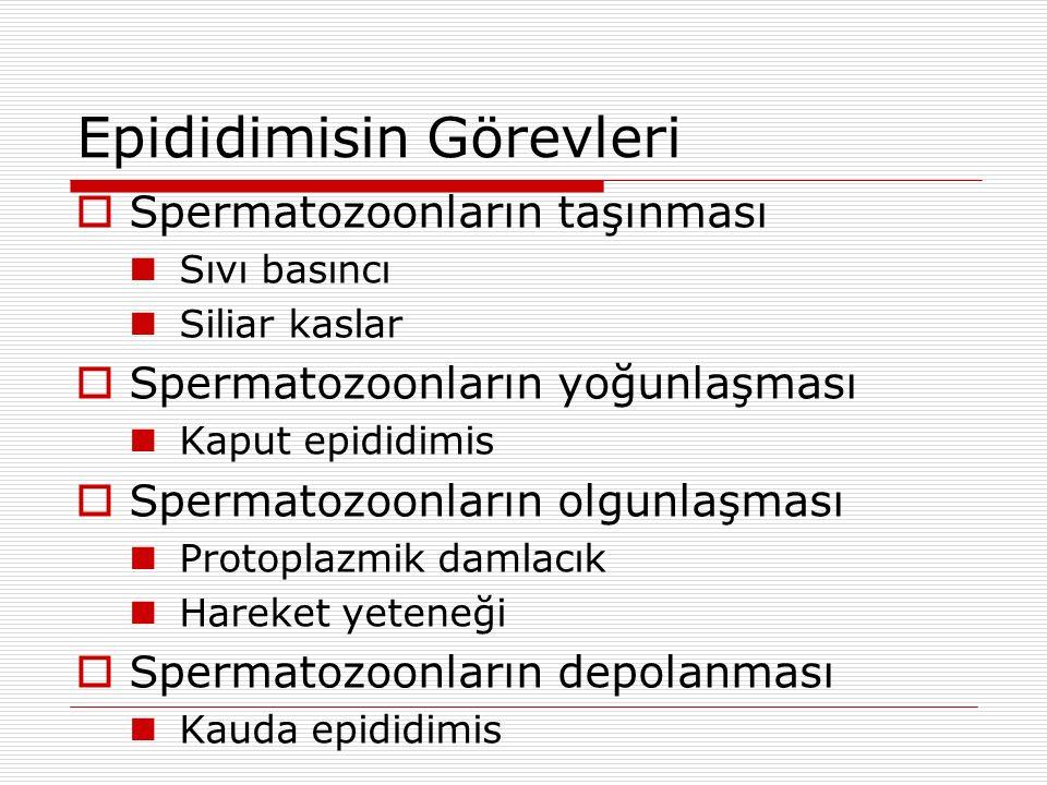 Oogenezis - Spermatogenezis