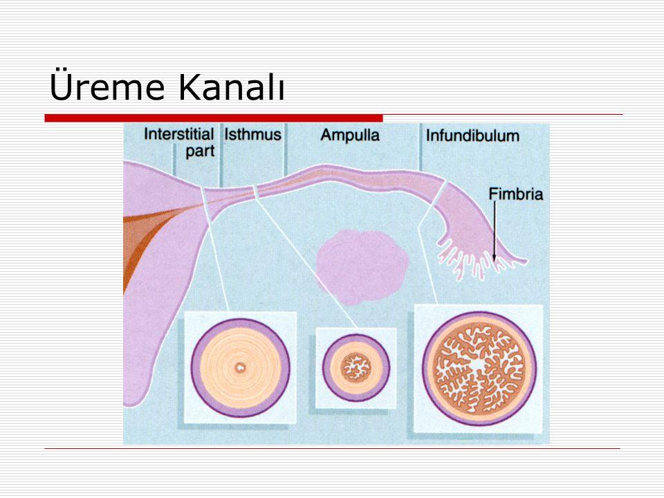Kapasitasyon  Dişi genital kanal Glikozaminoglikan Uterus, özellikle ovidukt Siklus  Plazma membranlarında değişim (baş ve kuyruk)  Hiperaktif motilite  Dekapasitasyon Dekapasitasyon faktörü Akrozin inhibitörü