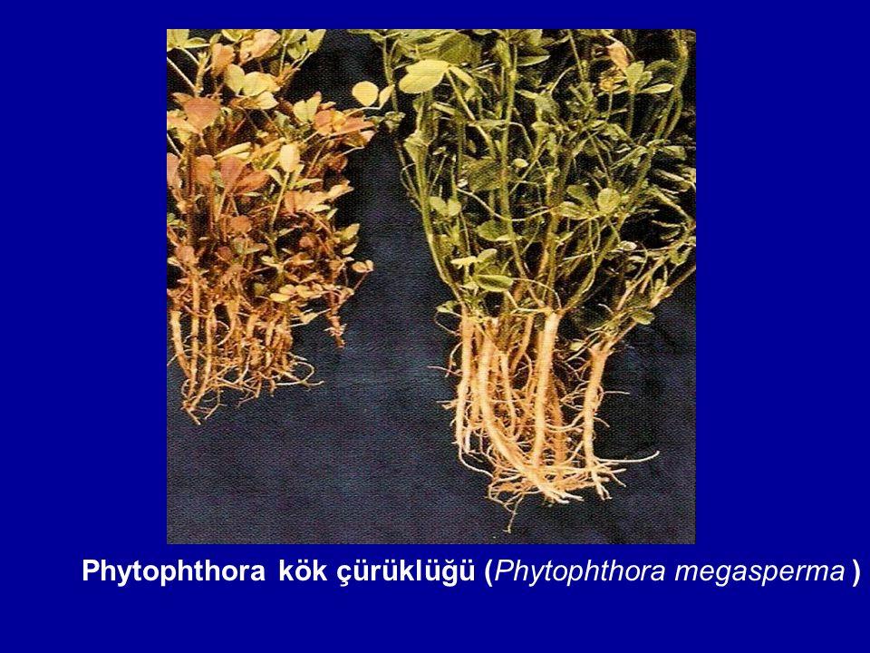 Phytophthora kök çürüklüğü (Phytophthora megasperma )
