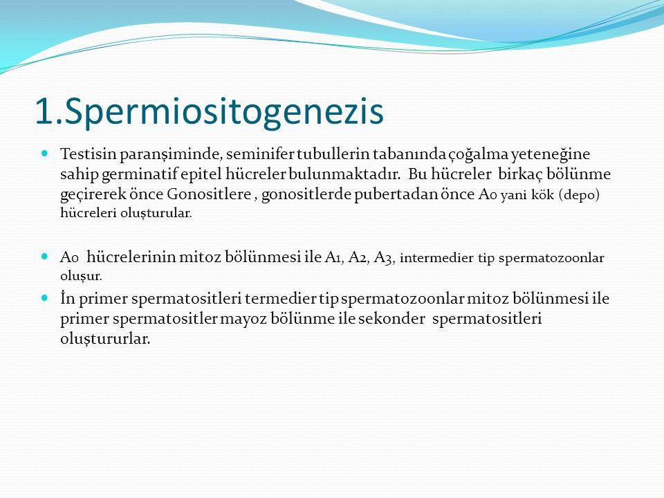 1.Spermiositogenezis Testisin paranşiminde, seminifer tubullerin tabanında çoğalma yeteneğine sahip germinatif epitel hücreler bulunmaktadır.