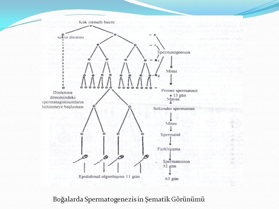 Boğalarda Spermatogenezis in Şematik Görünümü