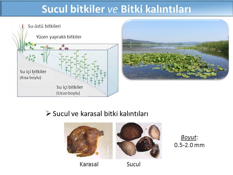 Sucul bitkiler ve Bitki kalıntıları Boyut: 0.5-2.0 mm KarasalSucul  Sucul ve karasal bitki kalıntıları Su-üstü bitkileri Yüzen yapraklı bitkiler Su i