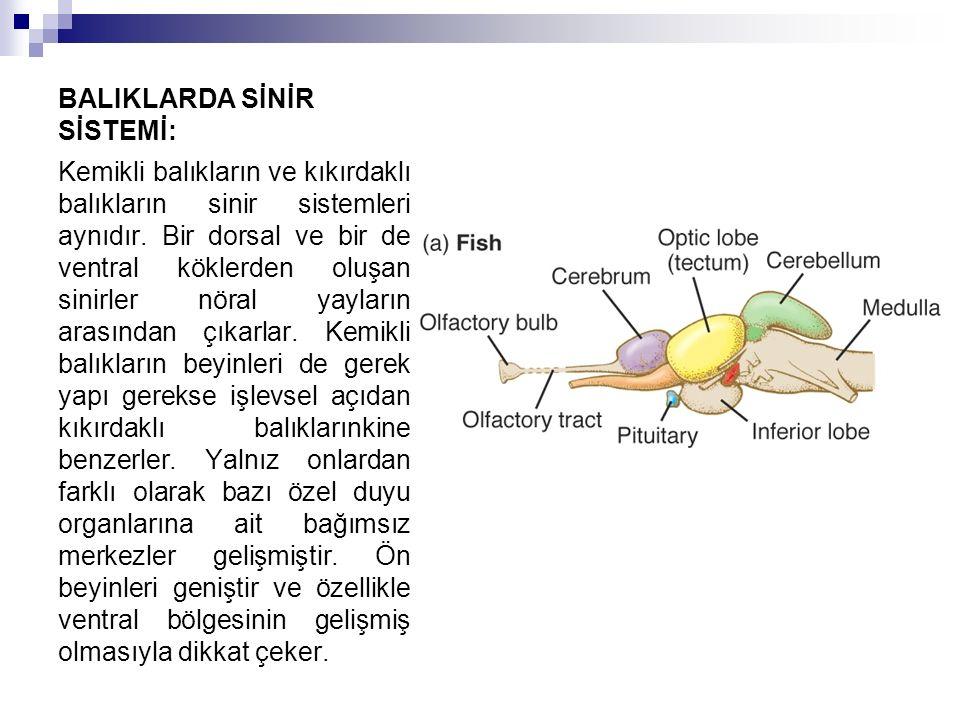 BALIKLARDA SİNİR SİSTEMİ: Kemikli balıkların ve kıkırdaklı balıkların sinir sistemleri aynıdır. Bir dorsal ve bir de ventral köklerden oluşan sinirler