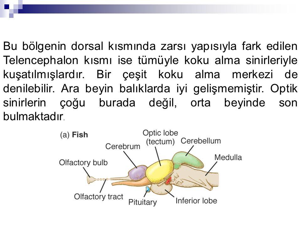 Bu bölgenin dorsal kısmında zarsı yapısıyla fark edilen Telencephalon kısmı ise tümüyle koku alma sinirleriyle kuşatılmışlardır. Bir çeşit koku alma m
