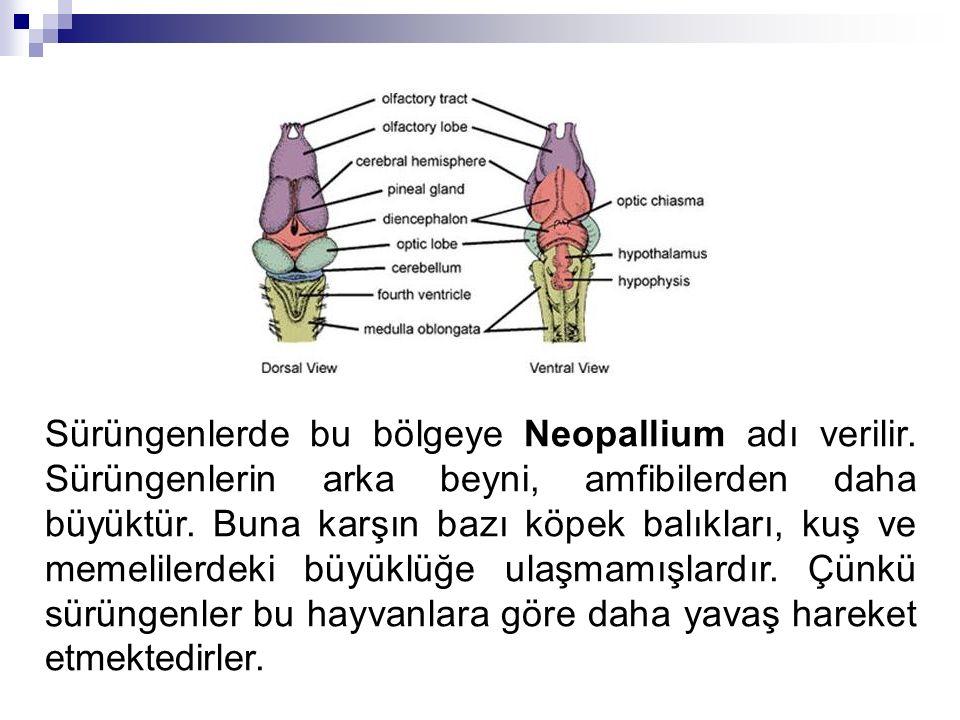 Sürüngenlerde bu bölgeye Neopallium adı verilir. Sürüngenlerin arka beyni, amfibilerden daha büyüktür. Buna karşın bazı köpek balıkları, kuş ve memeli
