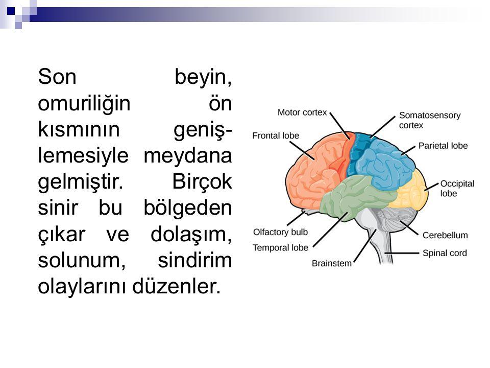 Son beyin, omuriliğin ön kısmının geniş- lemesiyle meydana gelmiştir. Birçok sinir bu bölgeden çıkar ve dolaşım, solunum, sindirim olaylarını düzenler