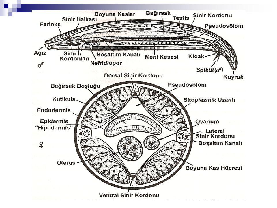NEMATODLARDA SİNİR SİSTEMİ: Sinir sisteminin büyük bir kısmı hipodermisin içindedir.