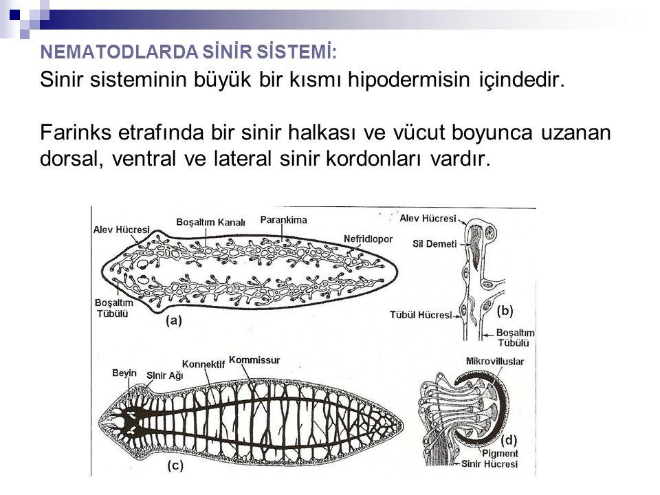 NEMATODLARDA SİNİR SİSTEMİ: Sinir sisteminin büyük bir kısmı hipodermisin içindedir. Farinks etrafında bir sinir halkası ve vücut boyunca uzanan dorsa