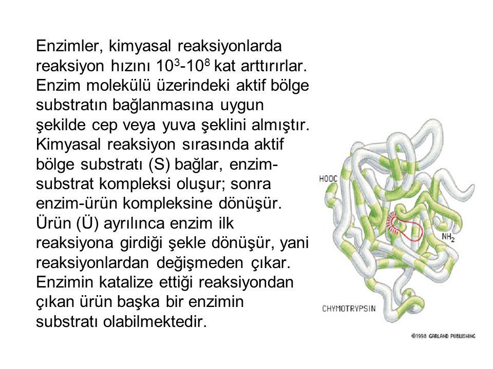 Enzimler, kimyasal reaksiyonlarda reaksiyon hızını 10 3 -10 8 kat arttırırlar. Enzim molekülü üzerindeki aktif bölge substratın bağlanmasına uygun şek