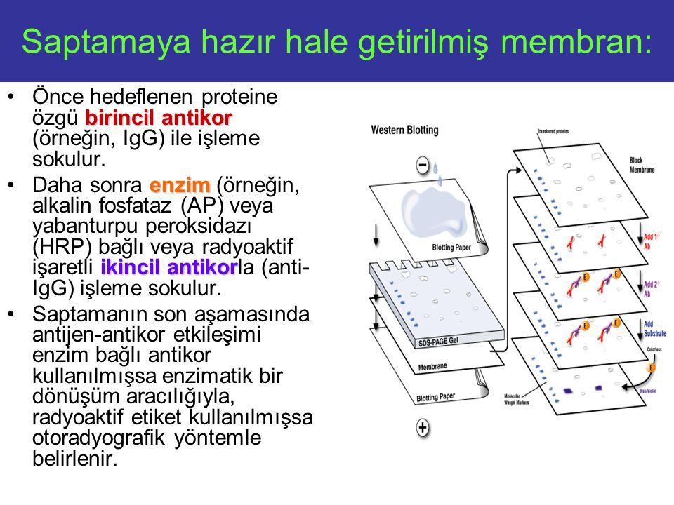 Saptamaya hazır hale getirilmiş membran: birincil antikorÖnce hedeflenen proteine özgü birincil antikor (örneğin, IgG) ile işleme sokulur.
