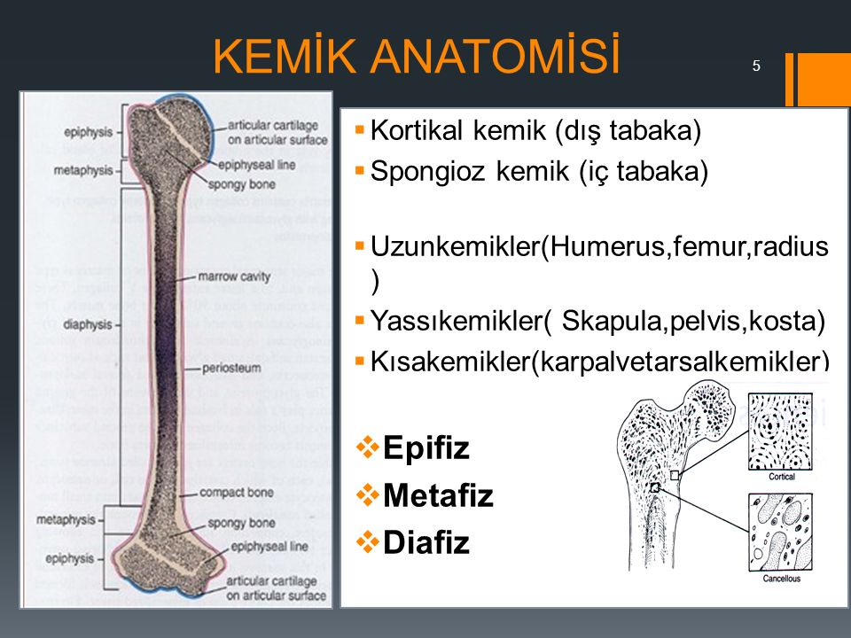 5 KEMİK ANATOMİSİ  Kortikal kemik (dış tabaka)  Spongioz kemik (iç tabaka)  Uzunkemikler(Humerus,femur,radius )  Yassıkemikler( Skapula,pelvis,kos
