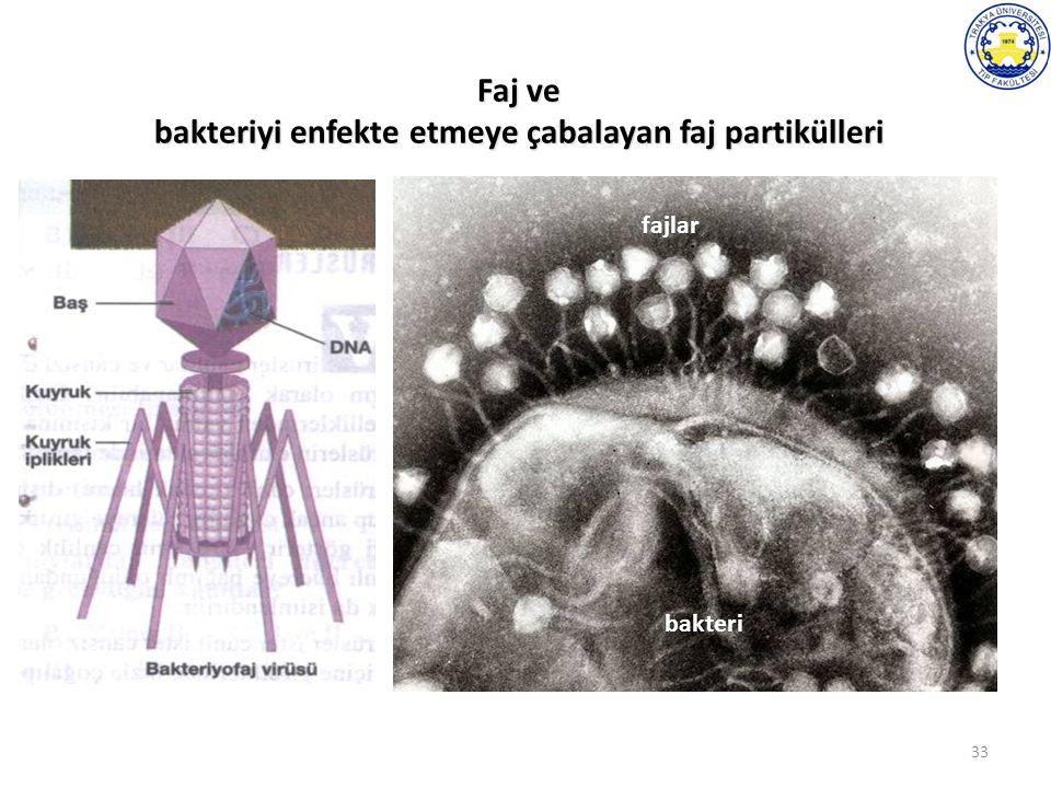 33 Faj ve bakteriyi enfekte etmeye çabalayan faj partikülleri bakteri fajlar