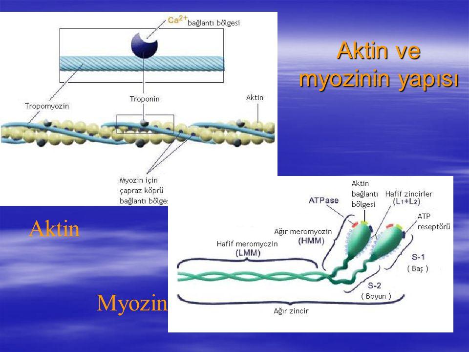 Aktin Myozin Aktin ve myozinin yapısı