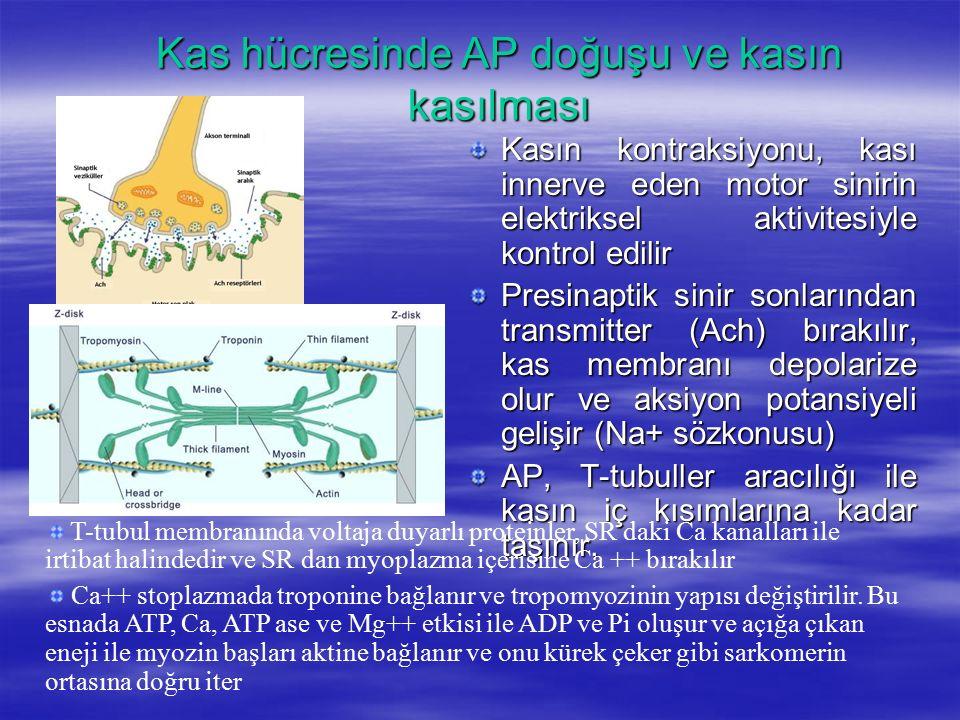 Kas hücresinde AP doğuşu ve kasın kasılması Kasın kontraksiyonu, kası innerve eden motor sinirin elektriksel aktivitesiyle kontrol edilir Presinaptik sinir sonlarından transmitter (Ach) bırakılır, kas membranı depolarize olur ve aksiyon potansiyeli gelişir (Na+ sözkonusu) AP, T-tubuller aracılığı ile kasın iç kısımlarına kadar taşınır.