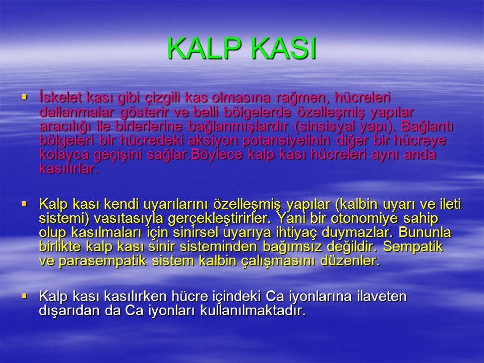 KALP KASI  İskelet kası gibi çizgili kas olmasına rağmen, hücreleri dallanmalar gösterir ve belli bölgelerde özelleşmiş yapılar aracılığı ile birlerlerine bağlanmışlardır (sinsisyal yapı).