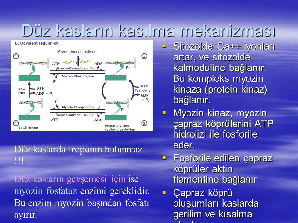 Düz kasların kasılma mekanizması  Sitozolde Ca++ iyonları artar, ve sitozolde kalmoduline bağlanır. Bu kompleks myozin kinaza (protein kinaz) bağlanı