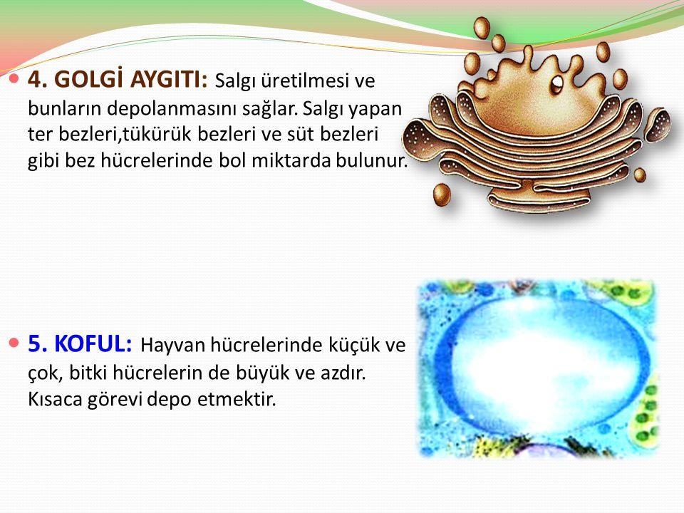 4. GOLGİ AYGITI: Salgı üretilmesi ve bunların depolanmasını sağlar. Salgı yapan ter bezleri,tükürük bezleri ve süt bezleri gibi bez hücrelerinde bol m