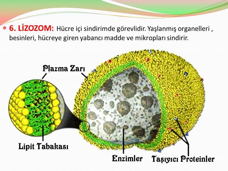 6. LİZOZOM: Hücre içi sindirimde görevlidir. Yaşlanmış organelleri, besinleri, hücreye giren yabancı madde ve mikropları sindirir.