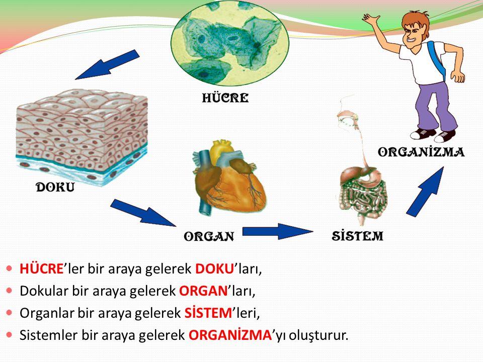 HÜCRE'ler bir araya gelerek DOKU'ları, Dokular bir araya gelerek ORGAN'ları, Organlar bir araya gelerek SİSTEM'leri, Sistemler bir araya gelerek ORGAN