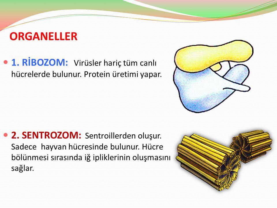 ORGANELLER 1. RİBOZOM: Virüsler hariç tüm canlı hücrelerde bulunur. Protein üretimi yapar. 2. SENTROZOM: Sentroillerden oluşur. Sadece hayvan hücresin