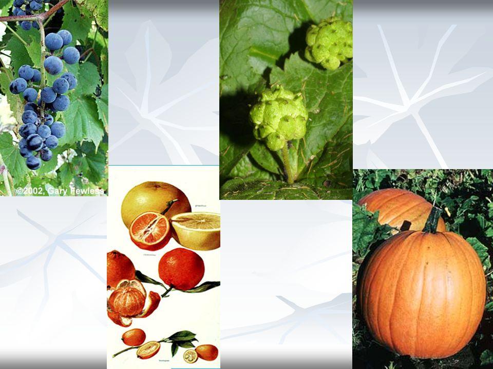 2- Embriyo: Gelişmesi ile yeni bitkiyi verecek olan bitki taslağıdır.
