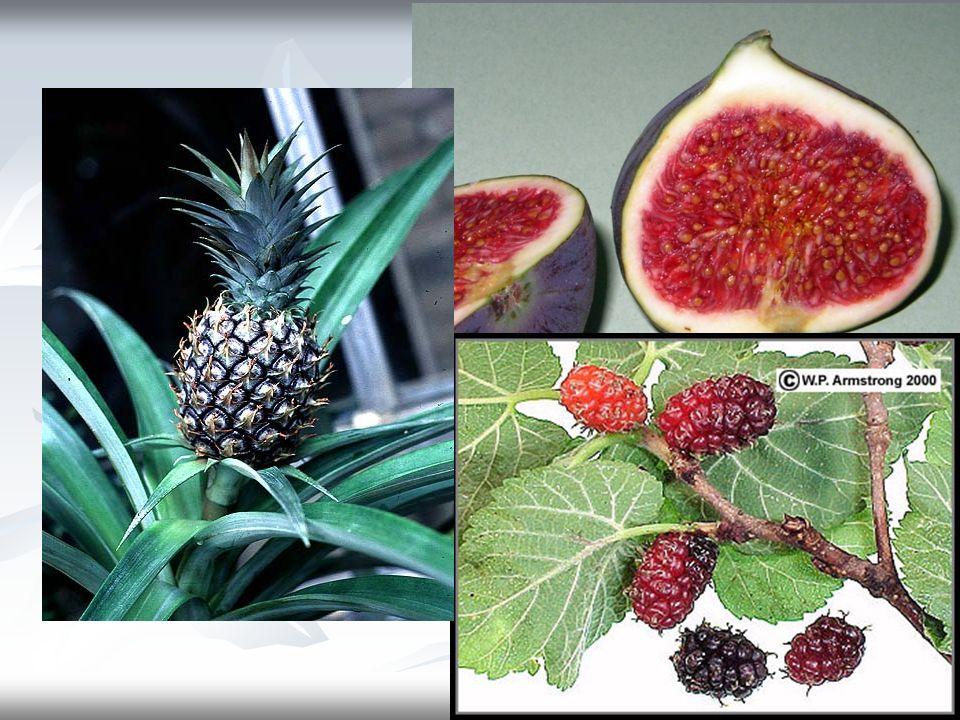 MEYVANIN İÇ YAPISI Bütün meyvalarda tohumları kapalı tutan bir meyva kabuğu (perikarp) kısmı vardır.