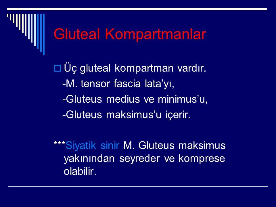 Gluteal Kompartmanlar  Üç gluteal kompartman vardır.