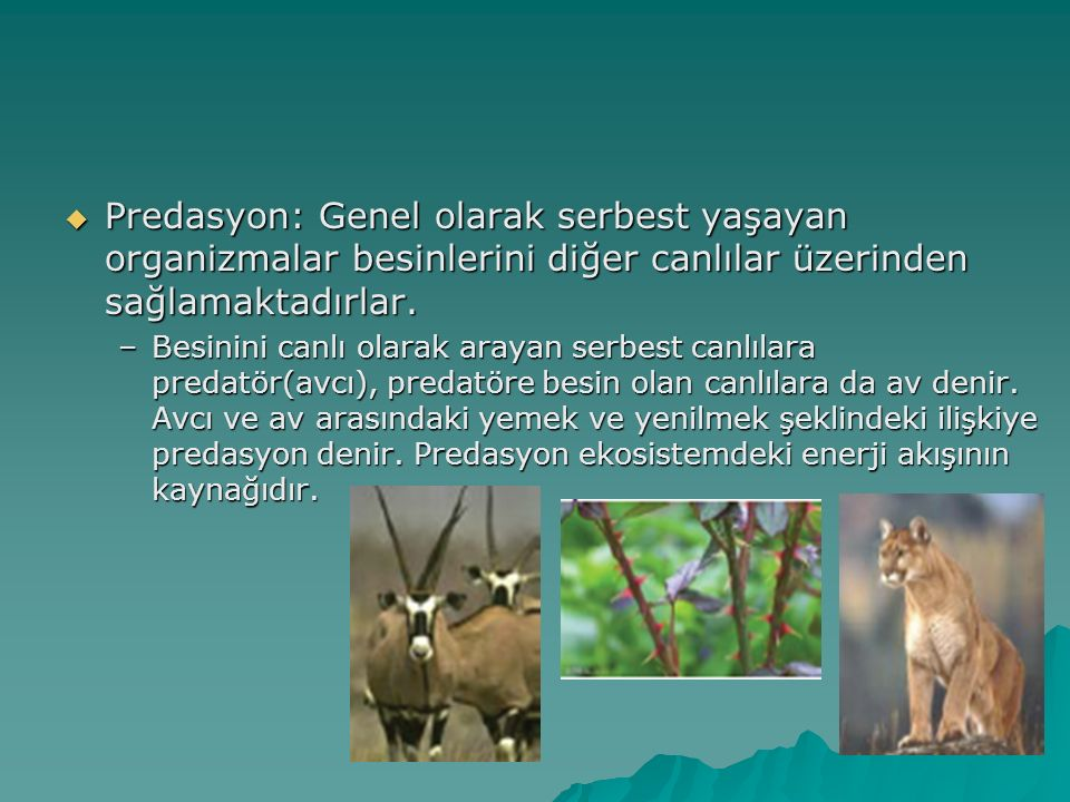  Predasyon: Genel olarak serbest yaşayan organizmalar besinlerini diğer canlılar üzerinden sağlamaktadırlar. –Besinini canlı olarak arayan serbest ca