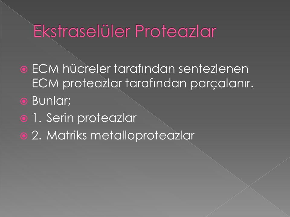  ECM hücreler tarafından sentezlenen ECM proteazlar tarafından parçalanır.  Bunlar;  1.Serin proteazlar  2.Matriks metalloproteazlar