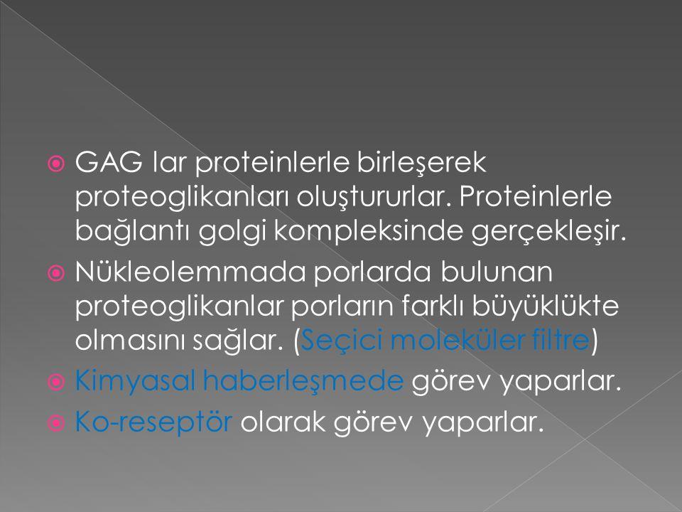  GAG lar proteinlerle birleşerek proteoglikanları oluştururlar. Proteinlerle bağlantı golgi kompleksinde gerçekleşir.  Nükleolemmada porlarda buluna