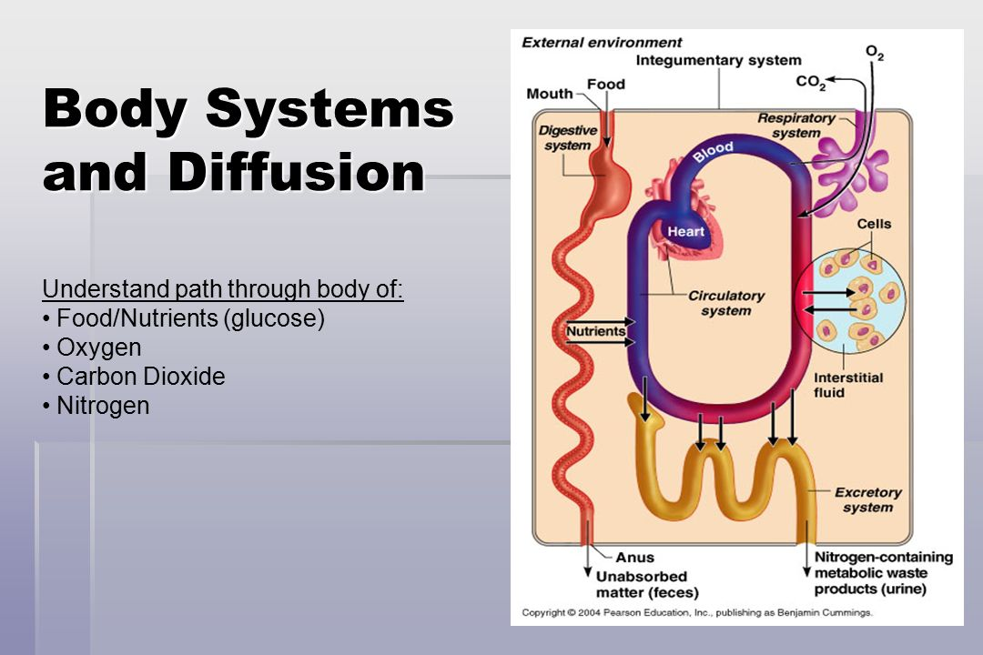 12 Body Systems and Diffusion Understand path through body of: Food/Nutrients (glucose) Oxygen Carbon Dioxide Nitrogen