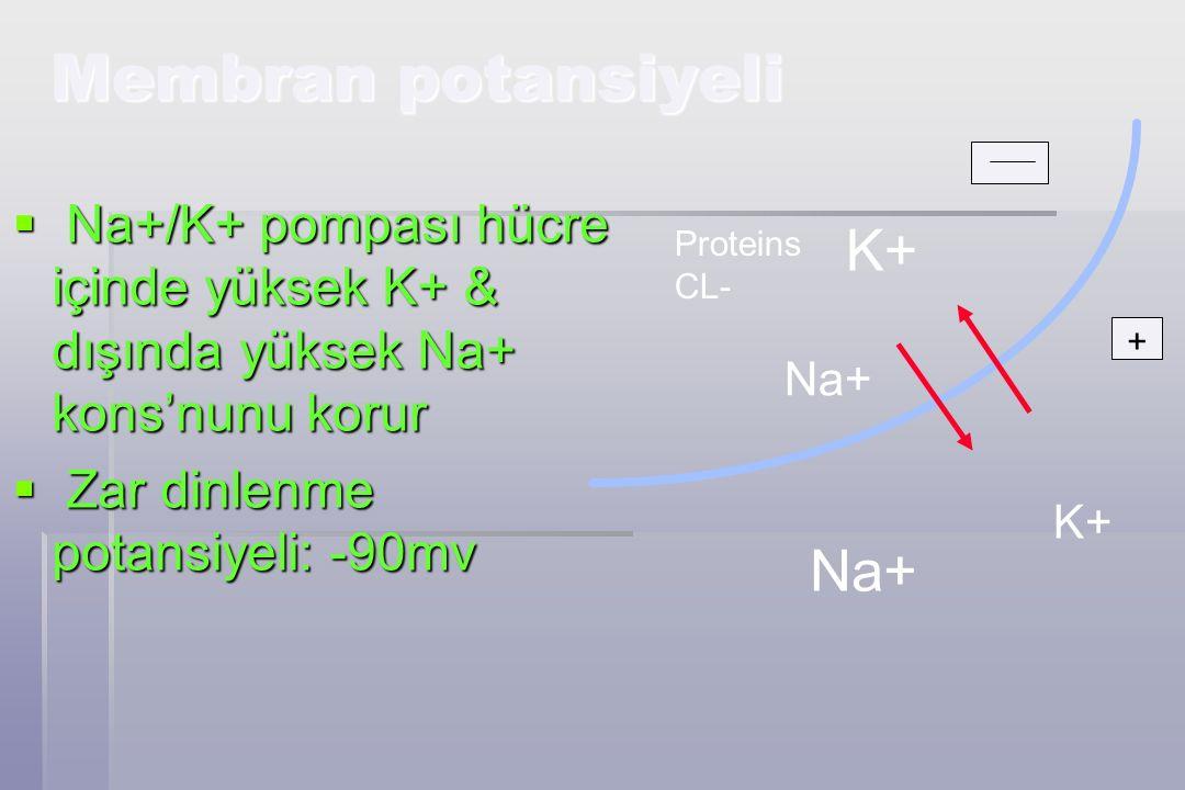 Membran potansiyeli  Na+/K+ pompası hücre içinde yüksek K+ & dışında yüksek Na+ kons'nunu korur  Zar dinlenme potansiyeli: -90mv + Proteins CL- K+ Na+ K+
