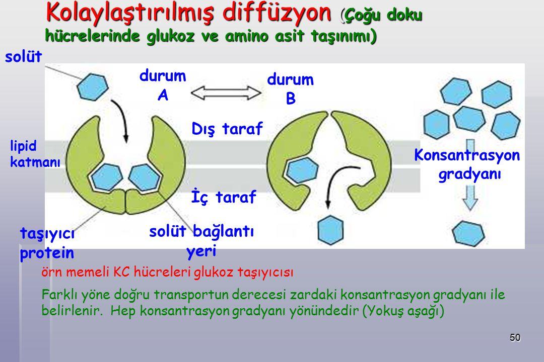 50 solüt durum A durum B Dış taraf İç taraf solüt bağlantı yeri taşıyıcı protein Konsantrasyon gradyanı lipid katmanı örn memeli KC hücreleri glukoz taşıyıcısı Farklı yöne doğru transportun derecesi zardaki konsantrasyon gradyanı ile belirlenir.