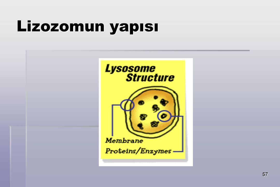57 Lizozomun yapısı