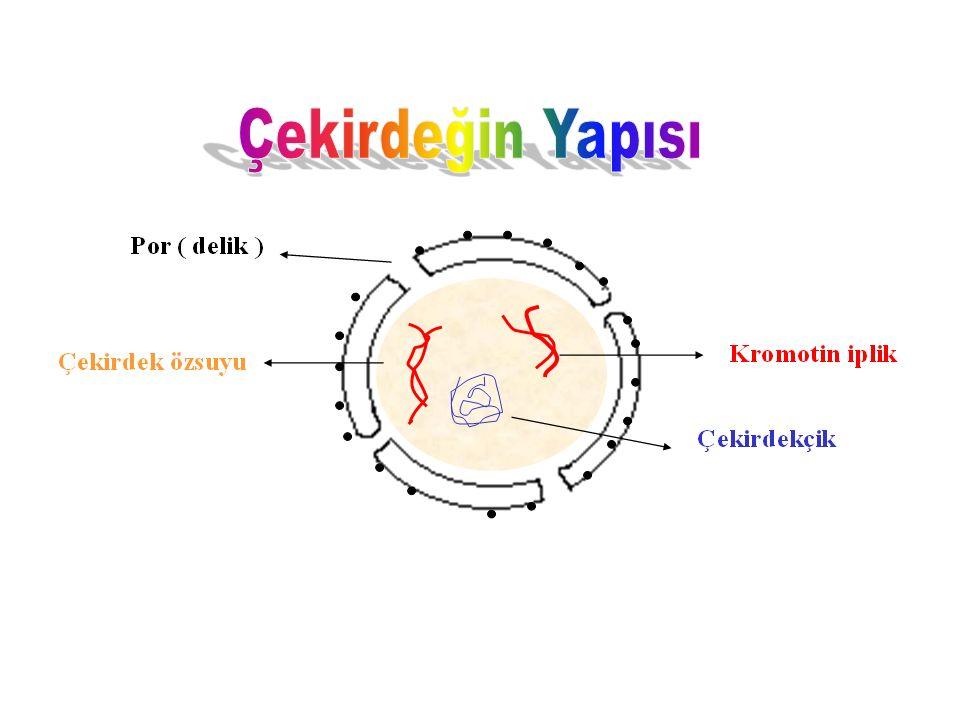 ÇEKİRDEK Hücrenin yönetim merkezi olup yapısında kalıtsal maddeleri (Gen, DNA, Kromozom) bulundurur. Hücre zarı ve sitoplazmadaki canlılık olaylarını