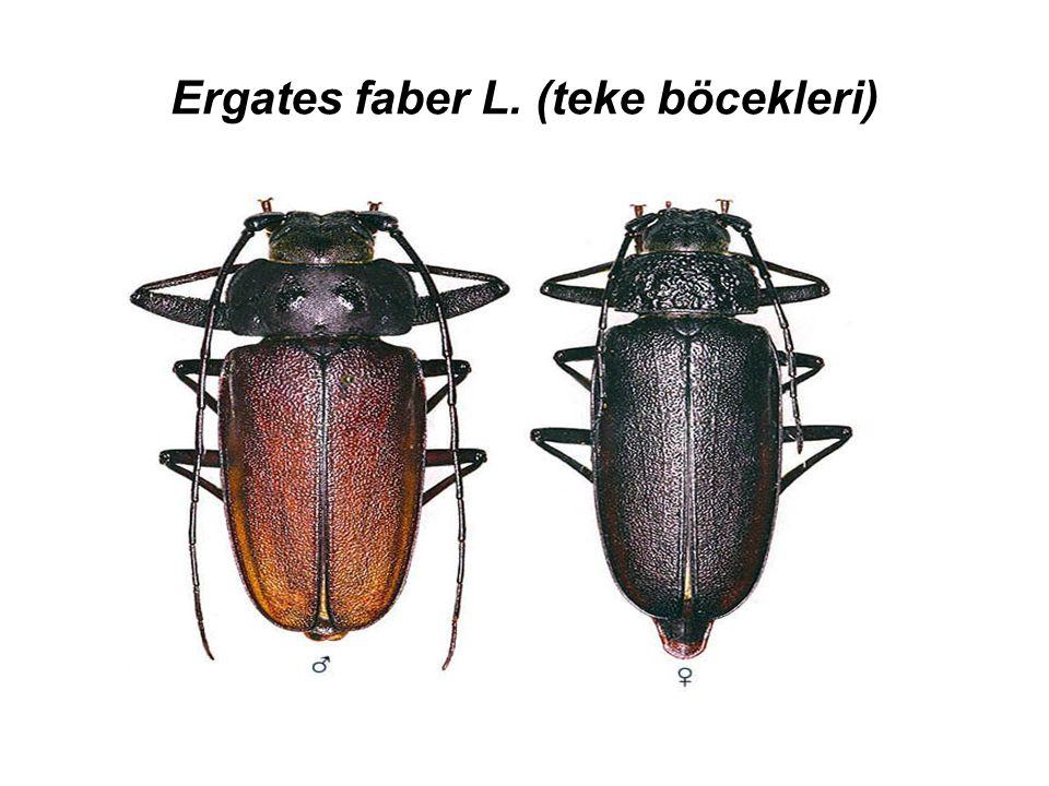 Ergates faber L. (teke böcekleri)