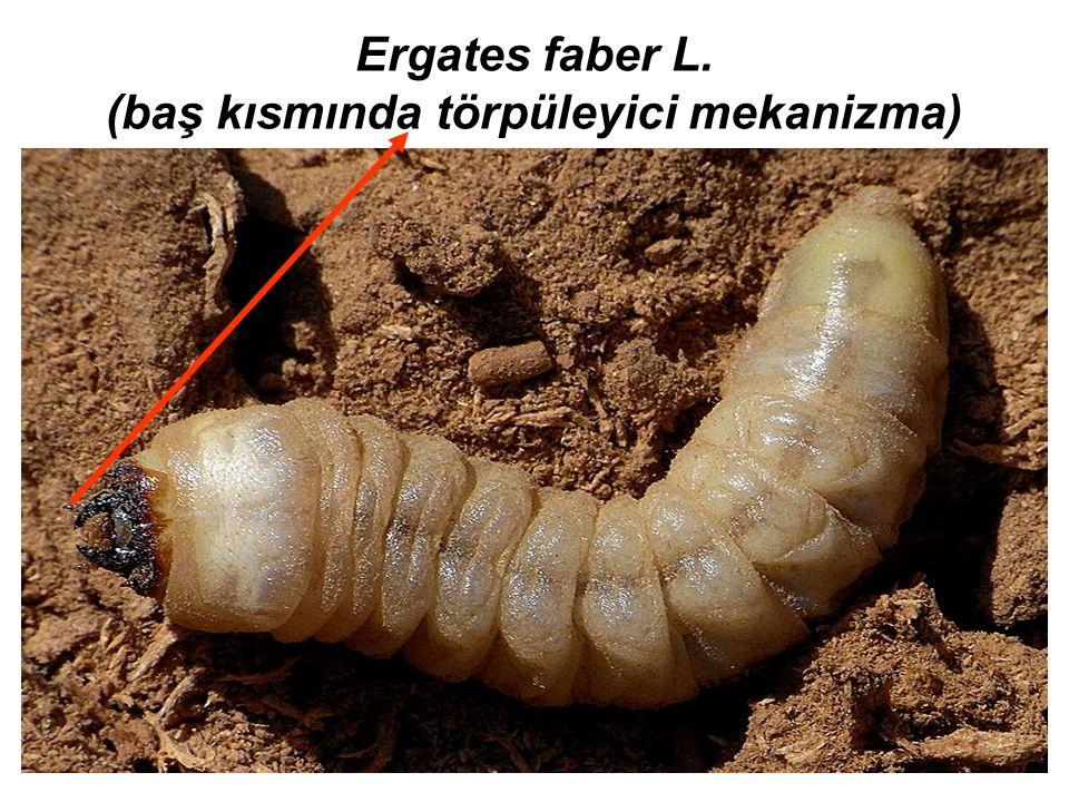 Ergates faber L. (baş kısmında törpüleyici mekanizma)
