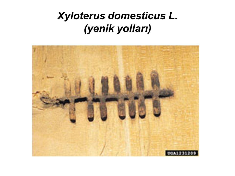 Xyloterus domesticus L. (yenik yolları)
