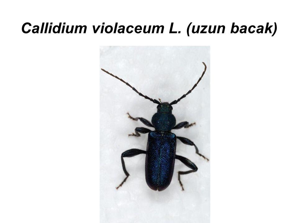 Callidium violaceum L. (uzun bacak)