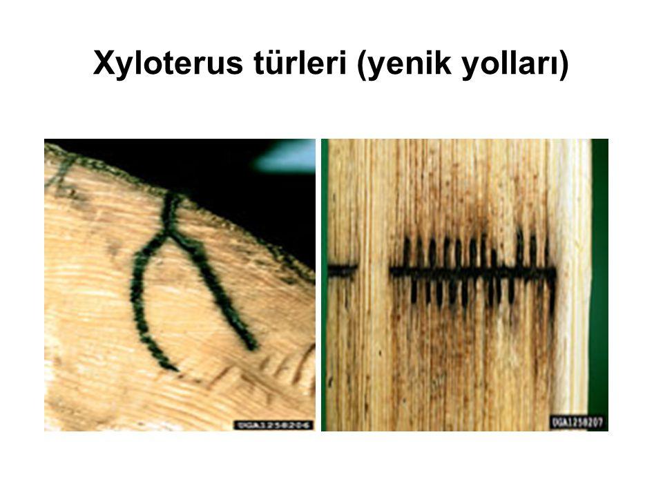 Hylecoetus dermestoides L. (uzamış arka vücut son segment kısmı; larva halinde)