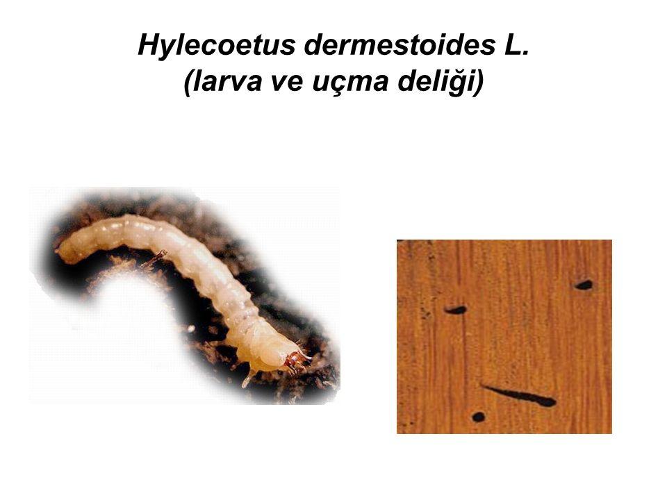 Hylecoetus dermestoides L. (larva ve uçma deliği)